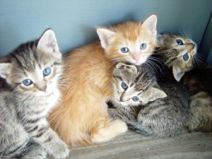 Kittens (1 orange striped with white and 3 grey striped with black)